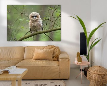 Cute fledgling of Tawny Owl ( Strix aluco ) perched on a branch, begging for food, its dark brown ey van wunderbare Erde