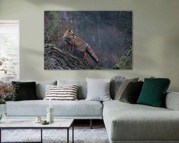 Red Fox  ( Vulpes vulpes ) adult, wet winterfur, climbed on a tree, standing, looks back, on a rainy van wunderbare Erde