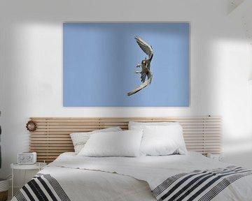 Duck Hawk ( Falco peregrinus ), adult, in fast maneuverable flight, against blue sky, frontal view,  van wunderbare Erde