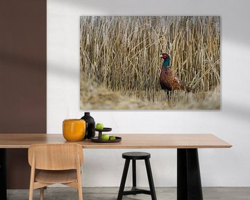 Male Ring-necked pheasant / Jagdfasan ( Phasianus colchicus  ) stands on a harvested grainfield, whe van wunderbare Erde