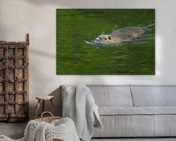 Nutria ( Myocastor coypus ) schwimmt in Eile durch das Wasser eines Teiches, in dem sich grüne Bäume von wunderbare Erde