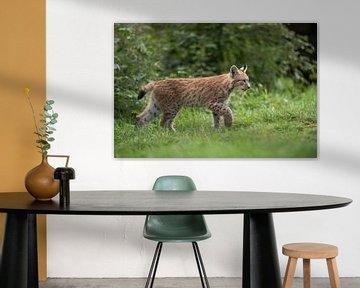 Luchs ( Lynx lynx ), junge Katze verlässt vorsichtig den Wald, um auf eine Wiese zu laufen von wunderbare Erde