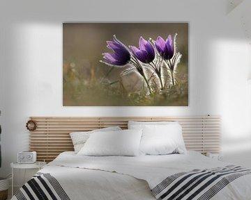 blühende Küchenschellen / Kuhschellen ( Pulsatilla vulgaris ), Gruppe von Frühjahrsblühern im zarten von wunderbare Erde