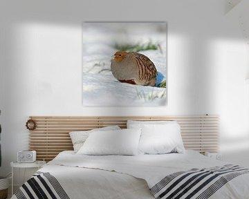 Grey Partridge ( Perdix perdix ), adult, walking, sneaking through fresh fallen snow, on a really ni van wunderbare Erde