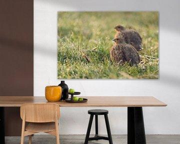 Grey Partridges ( Perdix perdix ), pair, couple, sitting in wet grass, early morning backlight situa van wunderbare Erde