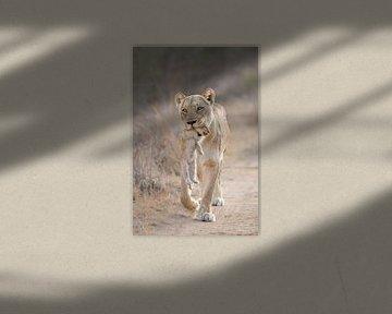 Moeder leeuwin draagt welp van Jos van Bommel