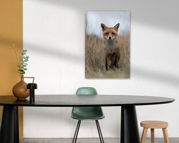 Red Fox ( Vulpes vulpes ) walking along a fox path through high, dry reed grass, low point of view,  van wunderbare Erde