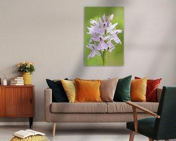 Blütenstand Geflecktes Knabenkraut ( Dactylorhiza maculata ), wildblühende Orchideenart, Orchideen i von wunderbare Erde
