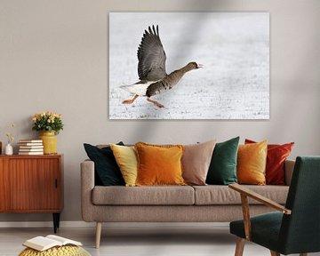 Blässgans ( Anser albifrons ), arktischer Wintergast am Niederrhein nimmt Anlauf, um aufzufliegen, a von wunderbare Erde