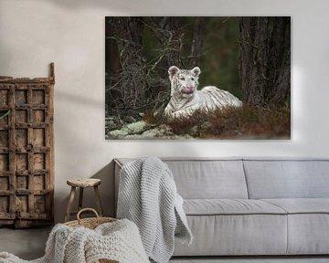 Weißer Königstiger ( Panthera tigris ), ruht, liegt zwischen Bäumen im Unterholz, leckt sich die Sch von wunderbare Erde