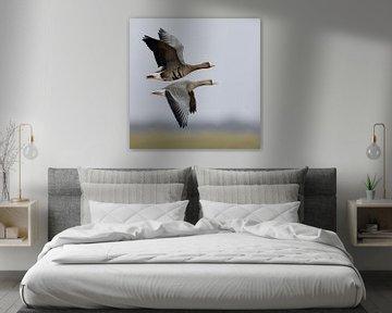 Blässgaense ( Anser albifrons ), Paar, Pärchen, fliegt über Wiesen und Felder am Niederrhein, im Auf von wunderbare Erde