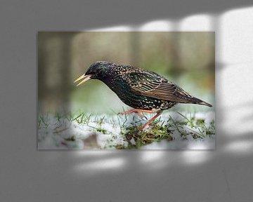 Common Starling ( Sturnus vulgaris ) dancing on snow covered ground, having cold feet, in grass, ons van wunderbare Erde