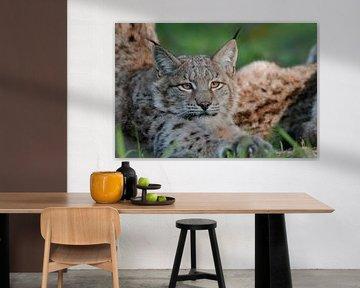 Luchs (Lynx lynx) streckt und reckt sich, wunderschöner Blick in seine klaren Augen, lustiges Tierbi von wunderbare Erde