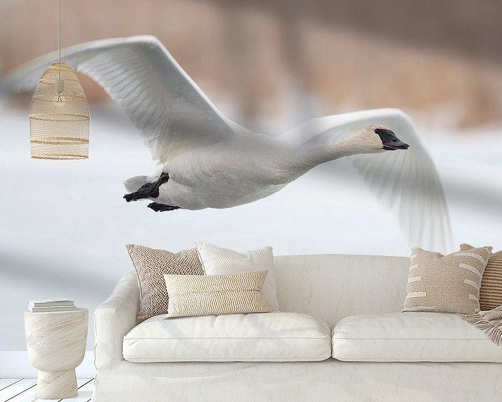 Sfeerimpressie behang: Trumpeter Swan ( Cygnus buccinator ) in winter, in flight, flying above a frozen river, over snow, G van wunderbare Erde