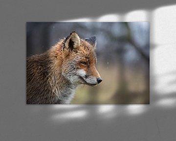 Red Fox ( Vulpes vulpes ), wet, closeup, portrait in rain, on a rainy day, fun, funny, wildlife, Eur van wunderbare Erde