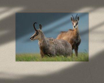 Chamois / Alpine chamois ( Rupicapra rupicapra ), two, standing in high grass of an alpine meadow, w van wunderbare Erde