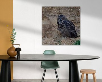 Eurasian Eagle Owl ( Bubo bubo ), young bird in a gravel pit, calling, cawing, begging for food, at  van wunderbare Erde