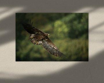 Seeadler ( Haliaeetus albicilla ), im Flug, Wald im Hintergund, weit aufgefächertes Gefieder kurz vo sur wunderbare Erde