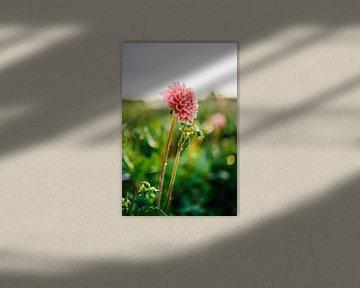 Roze Dahlia met waterdruppels von Wilko Visscher