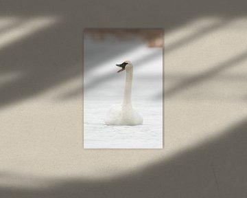 Trumpeter Swan ( Cygnus buccinator ) in winter, sitting on the ice of a frozen river, calling, trump van wunderbare Erde