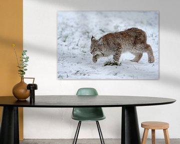 Cub of Eurasian Lynx (Lynx lynx) hunting for mice on snow covered ground, Europe. van wunderbare Erde