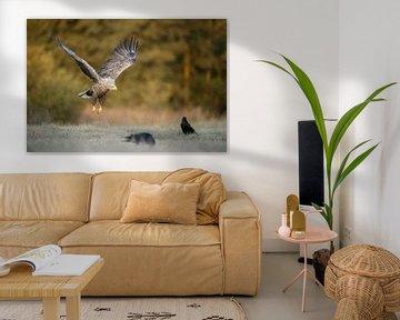 White-tailed Eagle / Sea Eagle ( Haliaeetus albicilla ) in flight, at the edge of autumnal coloured  van wunderbare Erde