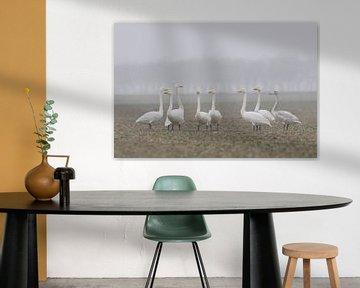 Whooper Swans ( Cygnus cygnus ), little flock, resting together on a rape field, watching around att van wunderbare Erde