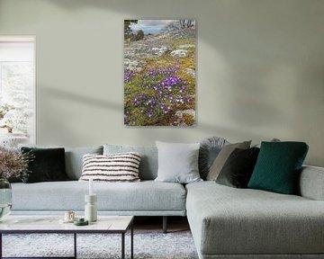 Duftveilchen ( Viola odorata ) blühen auf einer Schäre an der Küste Schwedens und läuten den Frühlin von wunderbare Erde