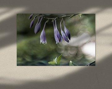 Blume XVIII - Funkie von Michael Schulz-Dostal