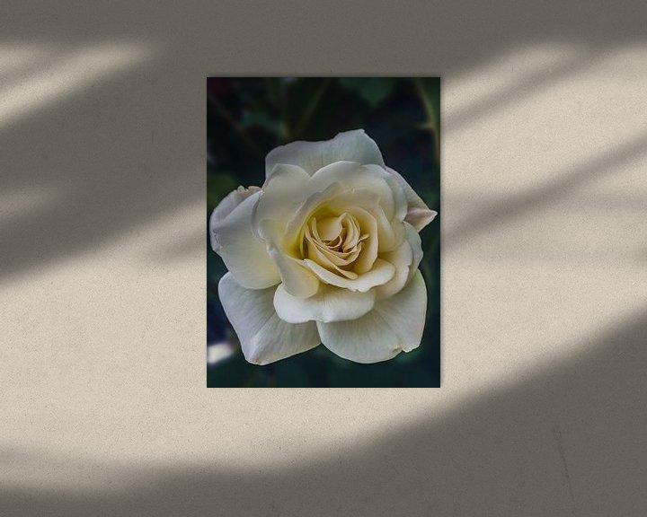 Beispiel: Rose, Vianen, Die Niederlande von Maarten Kost
