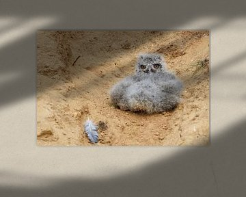 Eurasian Eagle Owl ( Bubo bubo ), very young chick, fallen out of its nesting burrow in a sand pit,  van wunderbare Erde