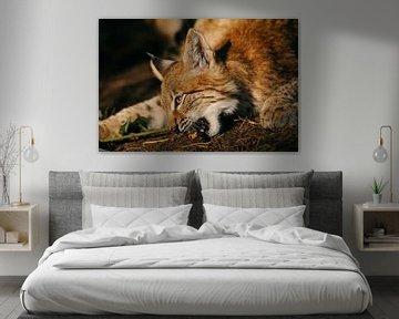 Eurasischer Luchs ( Lynx lynx ), detaillierte Nahaufnahme, goldenes Licht von wunderbare Erde