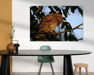 Little Owl / Minervas Owl ( Athene noctua ), perched in a tree, focused on something, warm morning s van wunderbare Erde