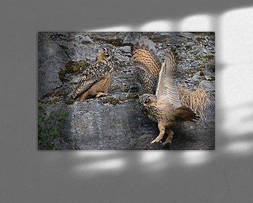 Uhus ( Bubo bubo ), zwei Jungvögel, spielen miteinander in der Wand eines alten Steinbruchs, wildlif von wunderbare Erde