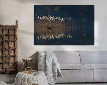 Black-throated Loon / Arctic Loon ( Gavia arctica ), swimming in front of reeds, on a nice sunny mor van wunderbare Erde