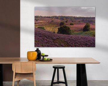 Violett blühende Heide erstreckt sich über eine scheinbar endlose Hügellandschaft, Spätsommer in der von wunderbare Erde