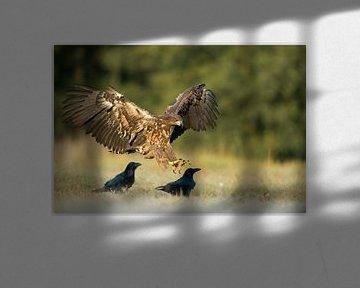 White-tailed Eagle / Sea Eagle ( Haliaeetus albicilla ) juvenile bird of prey, landing on a meadow n van wunderbare Erde