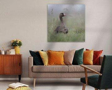 Blässgans ( Anser albifrons ), arktische Wildgans sitzt im hohen Gras einer Wiese am Niederrhein und von wunderbare Erde