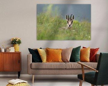 Gämse (Rupicapra rupicapra) liegt / ruht / rastet im frischen grünen Gras einer Bergwiese, direkter, von wunderbare Erde