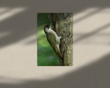 Green Woodpecker ( Picus viridis ) in the woods, perched on a tree trunk, clinging, typical pose, in van wunderbare Erde