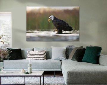 Bald Eagle ( Haliaeetus leucocephalus ), hunting in shallow waters, low point of view, nice surround van wunderbare Erde