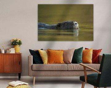 Nutria ( Myocastor coypus ) schwimmt durch wunderschön gefärbtes Wasser, Nahaufnahme, Kopfporträt, s von wunderbare Erde