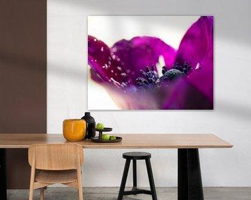 Blumen Anemonen purpurrotes Nahaufnahme makro von Art By Dominic