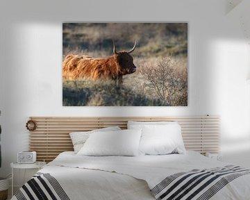 Schotse Hooglander van Lars Korzelius