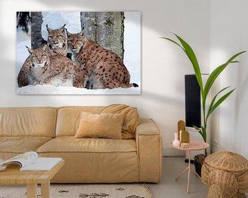 Lynx met jongen