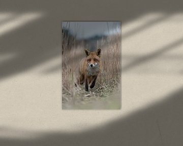 Red Fox ( Vulpes vulpes ) coming closer on a fox path through high, dry reed grass, low point of vie van wunderbare Erde