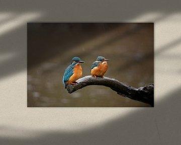 IJsvogel man en vrouw (in regen), Alcedo atthis van Gert Hilbink