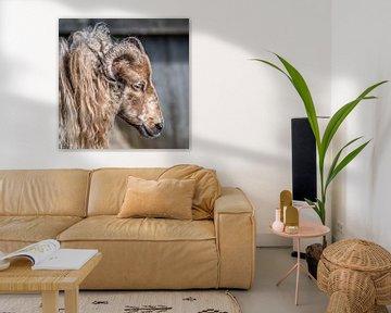 Portret van een Drent heideschaap met horens von Harrie Muis