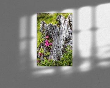 Alpenroosjes in een boomstronk van Coen Weesjes