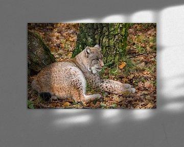 Liggende Lynx in herfst bos sur Fokko Erhart